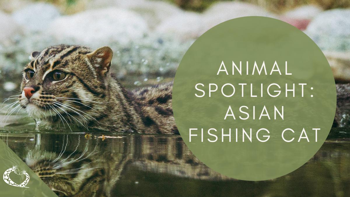 Reid-Park-Zoo-Expansion-Tucson-Arizona-Asian-Fishing-Cat-Wordpress