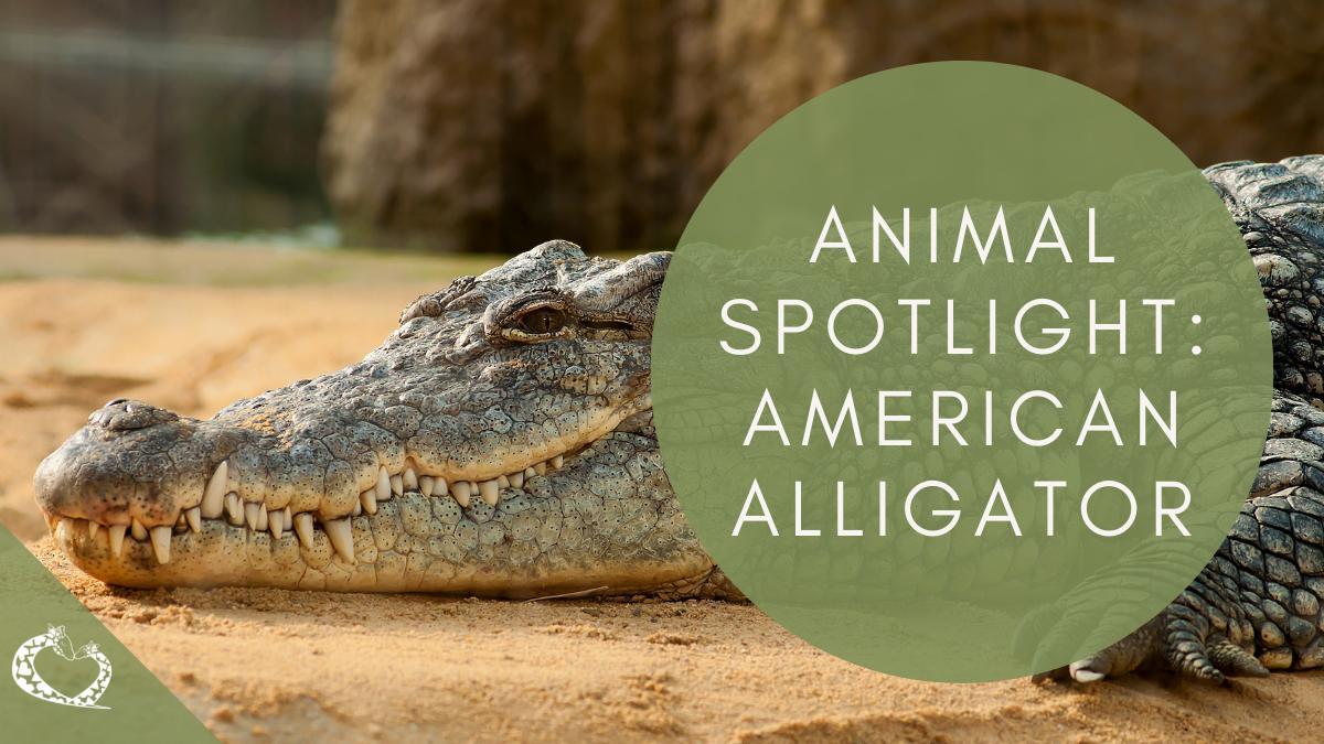 Reid-Park-Zoo-Expansion-Tucson-Arizona-American-Alligator-Wordpress
