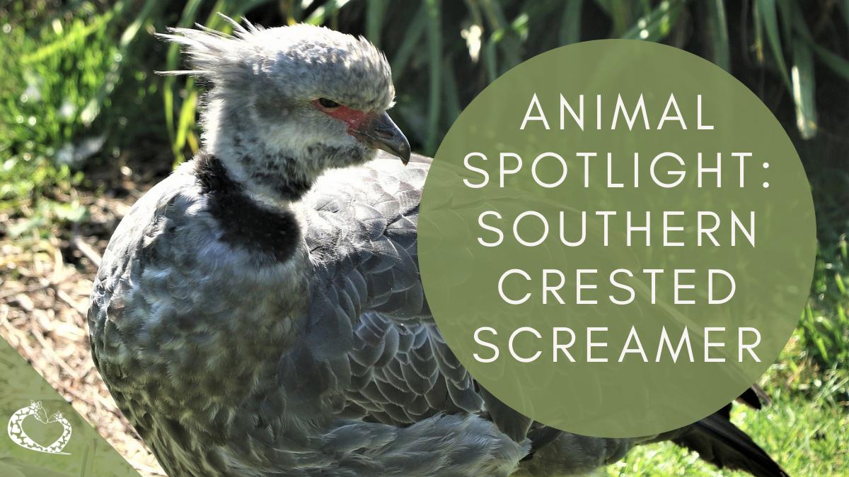 Reid-Park-Zoo-Expansion-Tucson-Arizona-Crested-Screamer-Wordpress