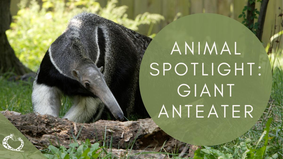 Reid-Park-Zoo-Expansion-Tucson-Arizona-Giant-Anteater-Wordpress
