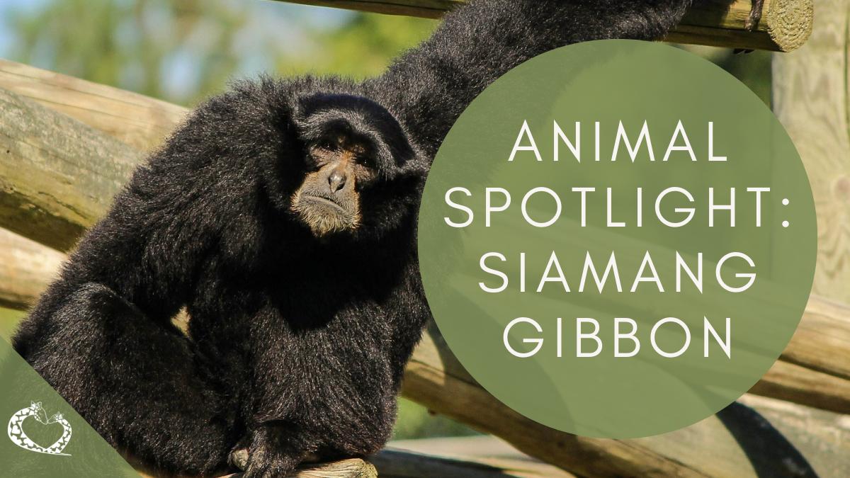 Reid-Park-Zoo-Expansion-Tucson-Arizona-Siamang-Gibbon-Wordpress