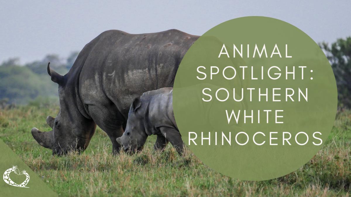 Reid-Park-Zoo-Expansion-Tucson-Arizona-White-Rinoceros-Wordpress