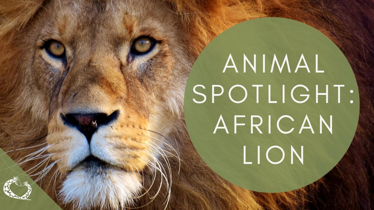 reid-park-zoo-expansion-tucson-arizona-african-lion-wordpress