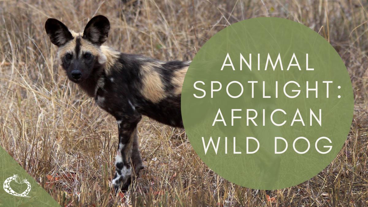 reid-park-zoo-expansion-tucson-arizona-african-wild-dog-wp