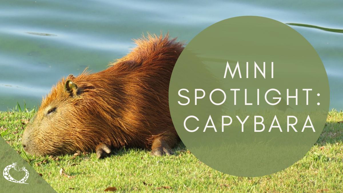 reid-park-zoo-expansion-tucson-arizona-capybara-wp
