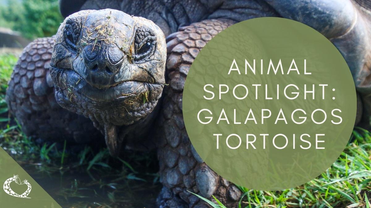 Reid-Park-Zoo-Expansion-Tucson-Arizona-Galapagos-Tortoise-WP