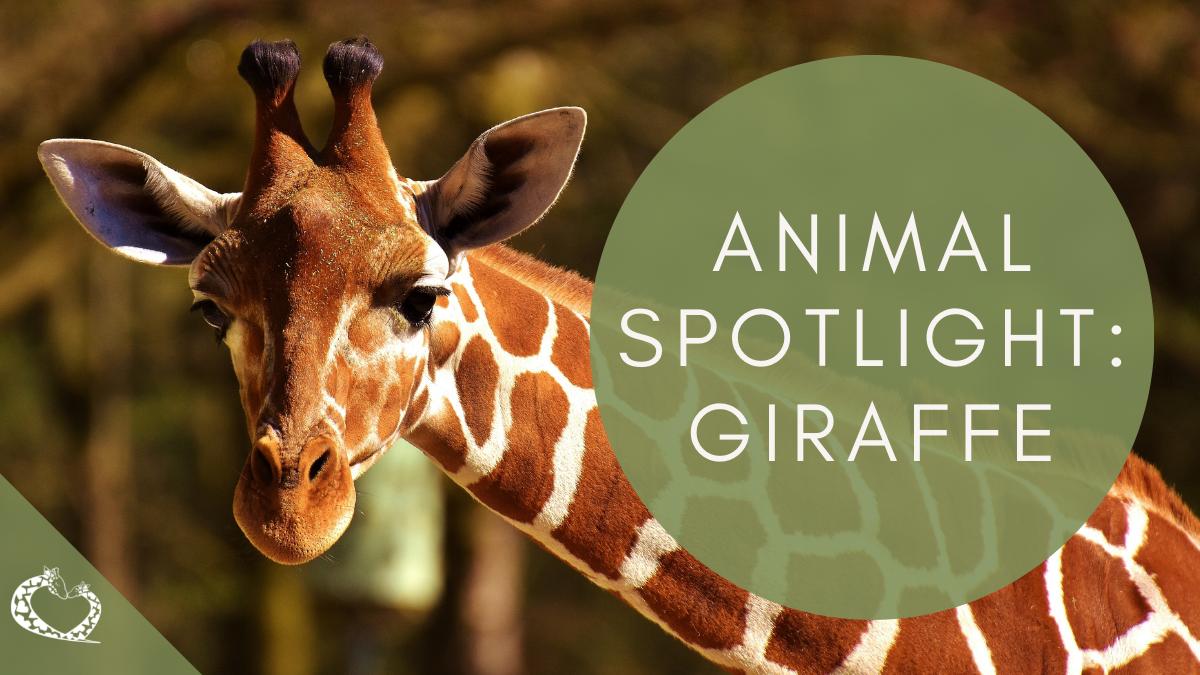 reid-park-zoo-expansion-tucson-arizona-giraffe-wp
