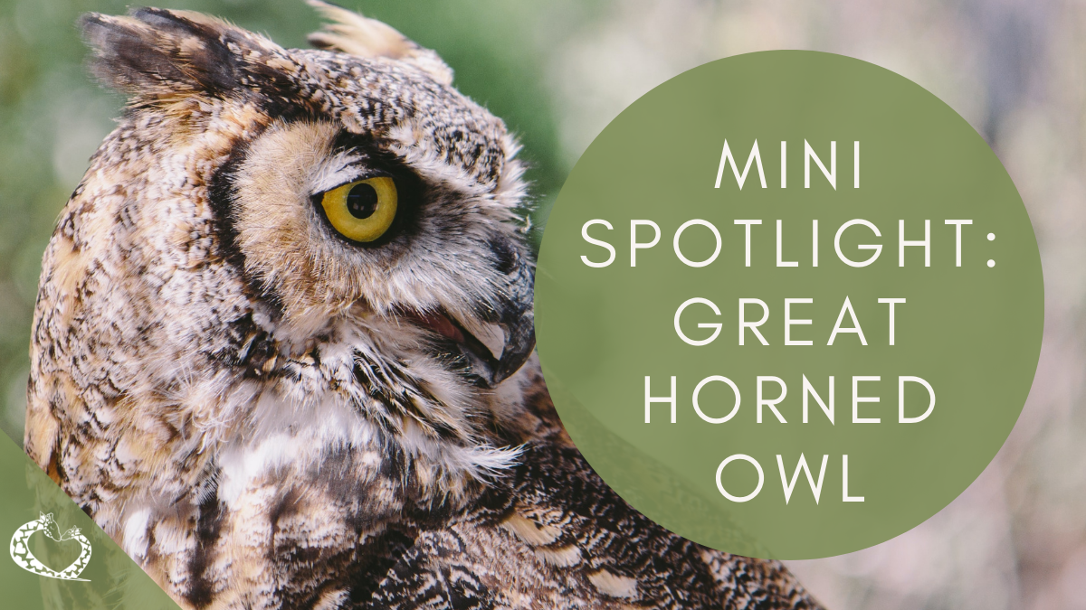 Reid-Park-Zoo-Expansion-Tucson-Arizona-Great-Horned-Owl-WP