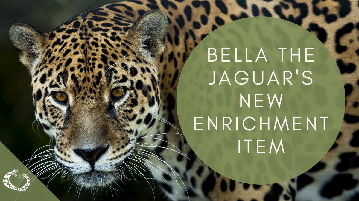 reid-park-zoo-expansion-tucson-arizona-jaguar-enrichment-wp