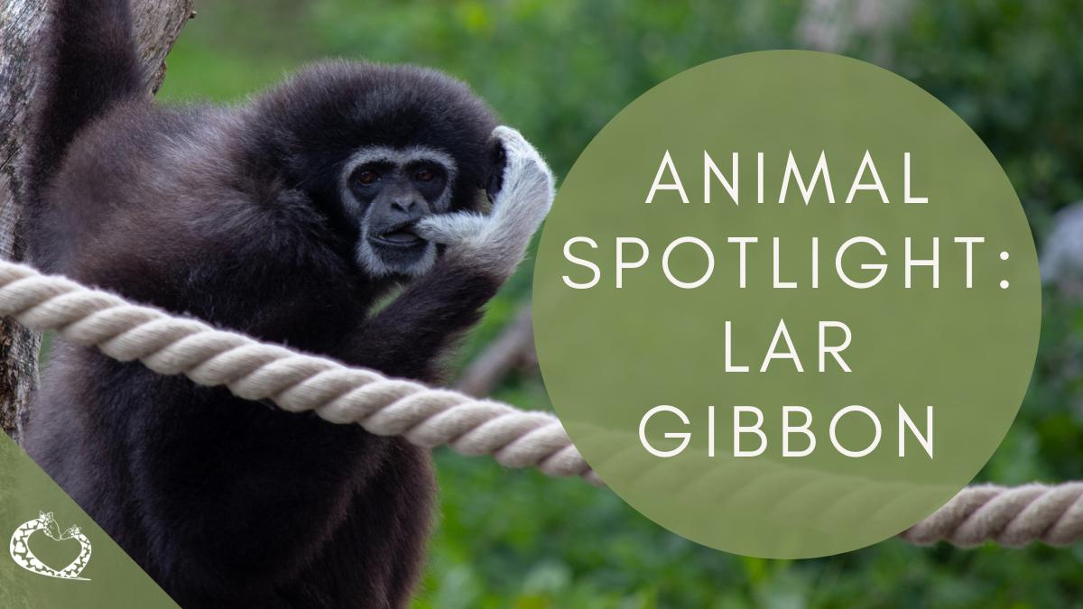 reid-park-zoo-expansion-tucson-arizona-lar-gibbon-wp