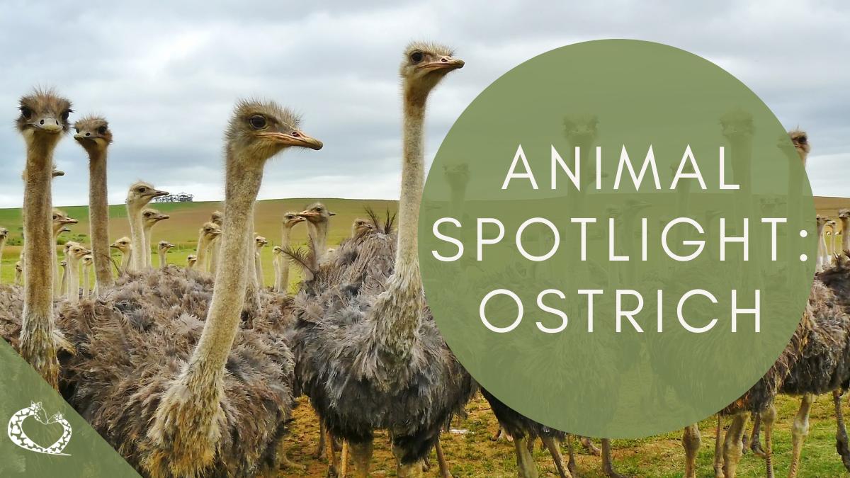 reid-park-zoo-expansion-tucson-arizona-ostrich-wp