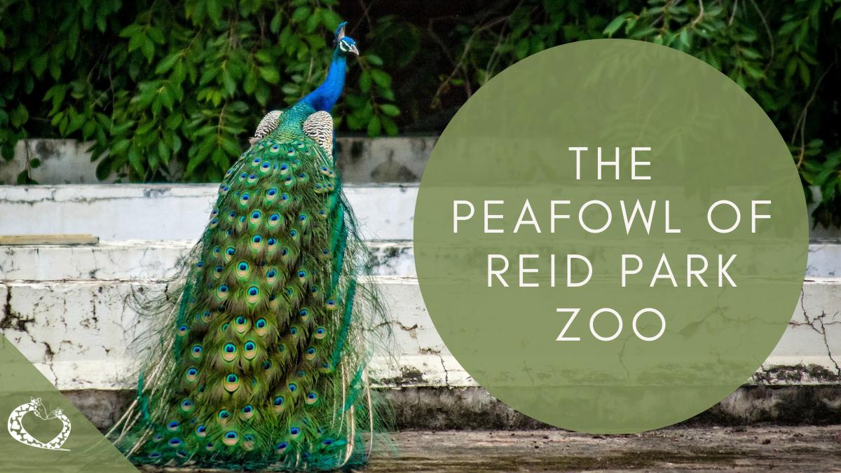 Reid-Park-Zoo-Expansion-Tucson-Arizona-Peafowl-WP