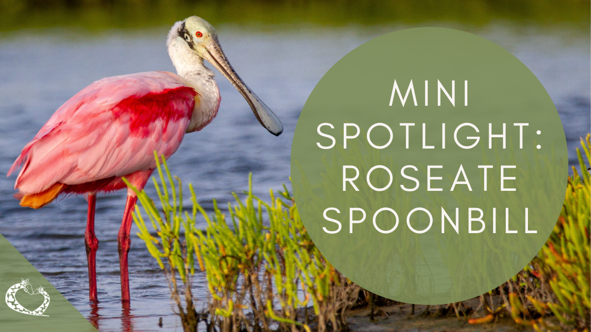 reid-park-zoo-expansion-tucson-arizona-roseate-spoonbill-wp