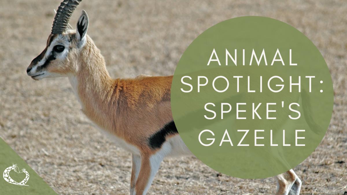 reid-park-zoo-expansion-tucson-arizona-spekes-gazelle-wp