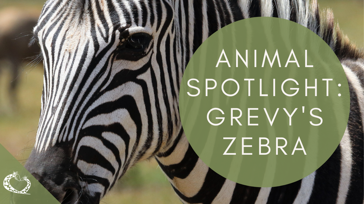 Animal Spotlight Grevy's Zebra Wordpress RPZE