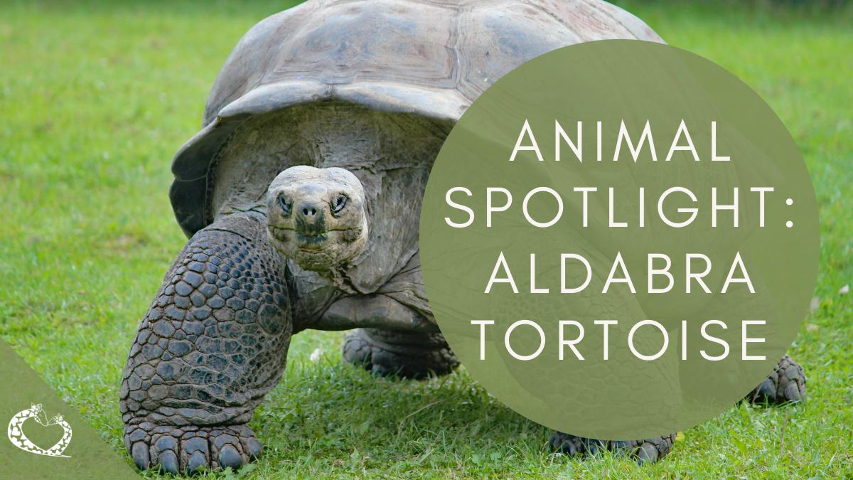 Reid-Park-Zoo-Expansion-Tucson-Arizona-Aldabra-Tortoise