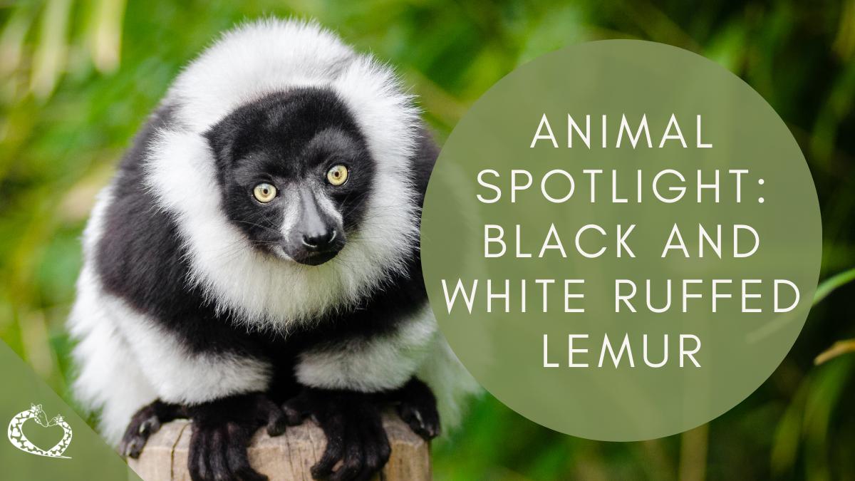 Reid - Park-Zoo-Expansion-Tucson-Arizona-Black-and-White-Ruffed-Lemur Wordpress RPZE