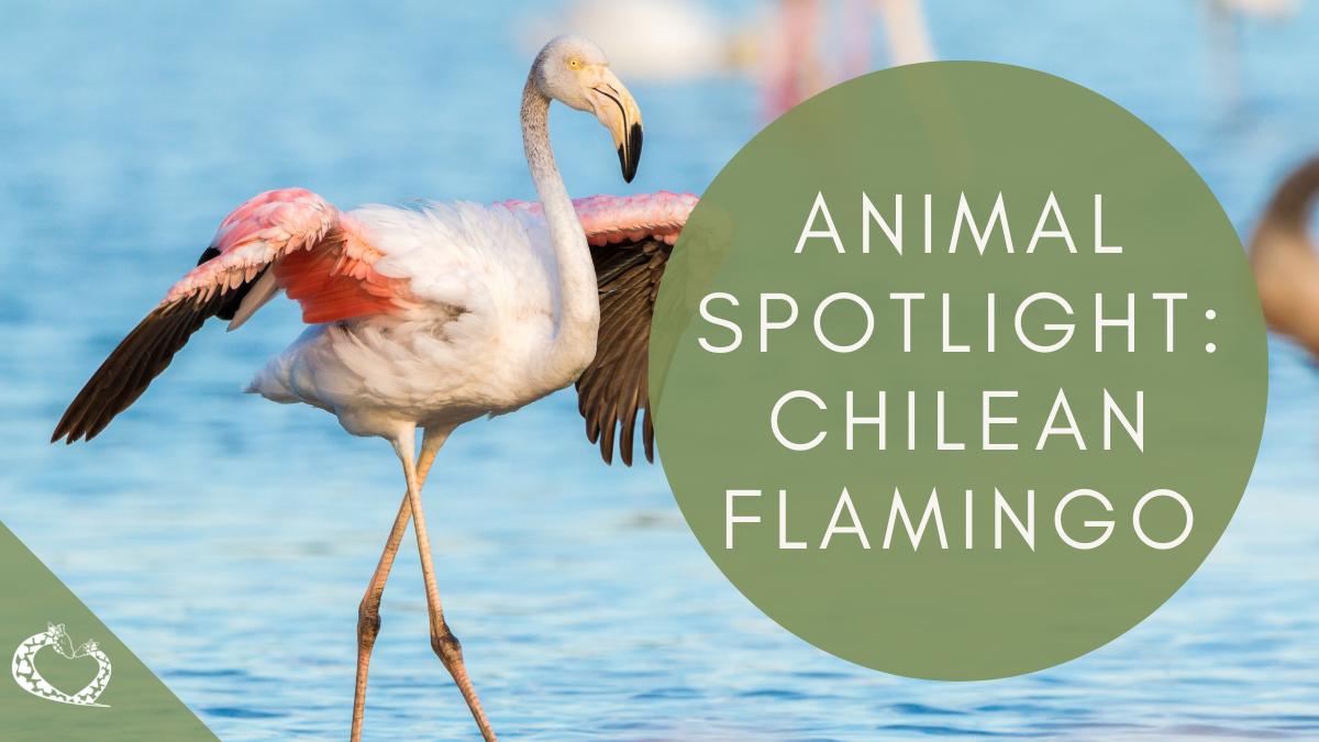 Reid-Park-Zoo-Expansion-Tucson-Arizona-Chilean-Flamingos