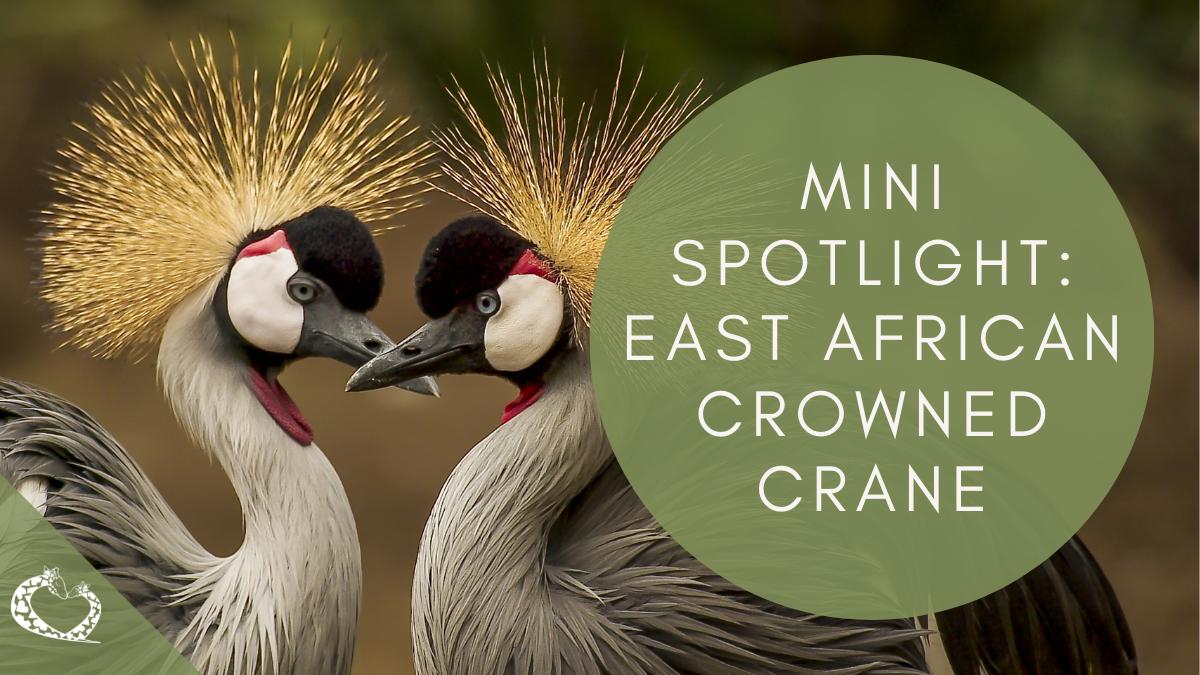 reid-park-zoo-expansion-tucson-arizona-zoo-east-african-crowned-crane